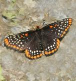 Baltimore Checkerspot