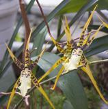 Aspasia orchid