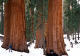 Yosemite NP: giant sequoias in Mariposa Grove