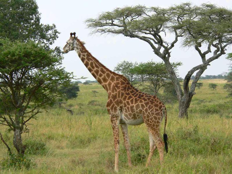 girafe masaï.jpg