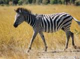 A zebra crossing
