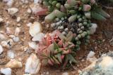 Crassula capitella ssp. thyrsiflora    W. Cape Knersvlakte 7.JPG