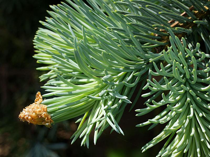 Picea pungens Kosteriana