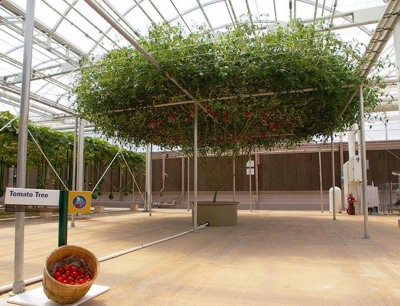 The Tomato Tree