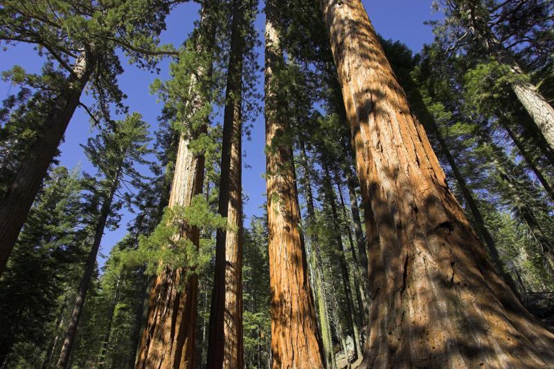 Sequoia Grove.jpg