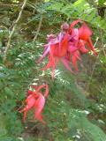 Abbey Garden Tresco - Clianthus puniceus or Red Lobster Claws, from New Zealand