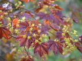 Acer in bloom