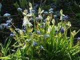 White Bluebells and forget-me-nots