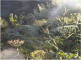 Web on fennel