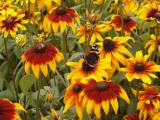 Red admiral on rudbeckia
