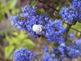 Ceaonothus with white spider