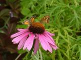 Echinacea with guests