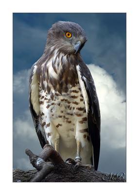 Snake-eagle