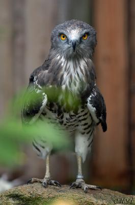 Snake-eagle II