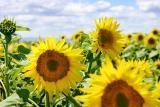 June 19, 2005Sunflower Fields