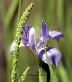 Giant Blue Iris