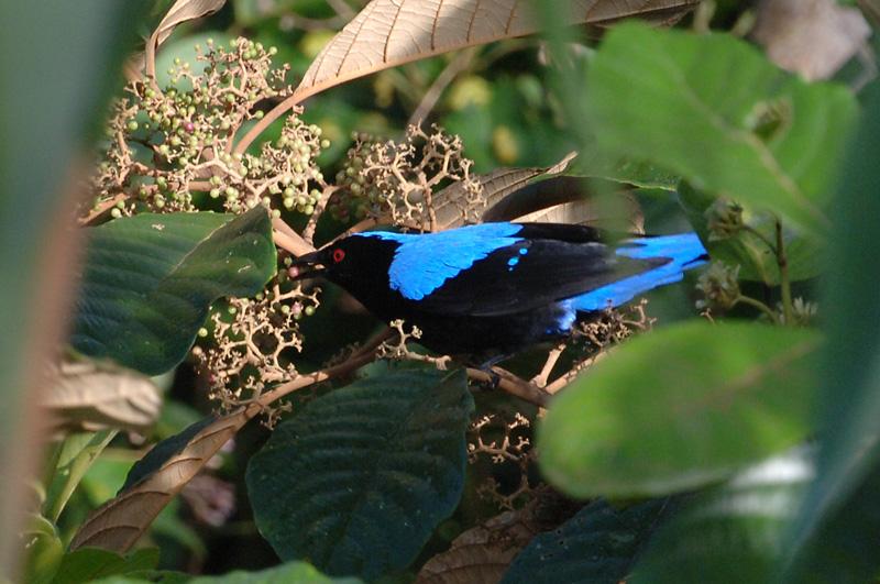 Bluebird, Asian Fairy @ The Gap