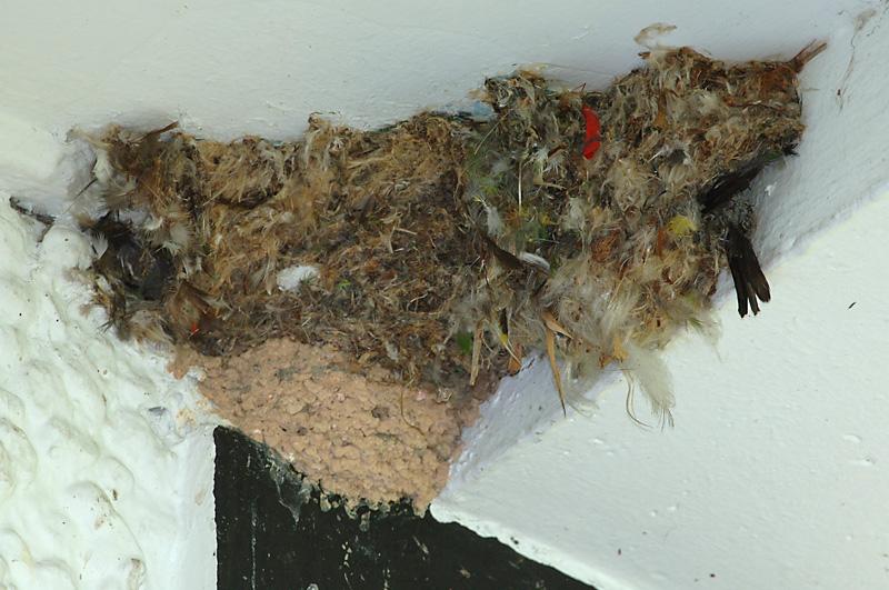 Swift, House (nest) @ The Gap