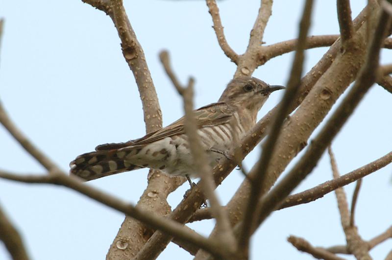 Cuckoo, Horsfields Bronze Cuckoo @ Choa Chu Kang Cemetery