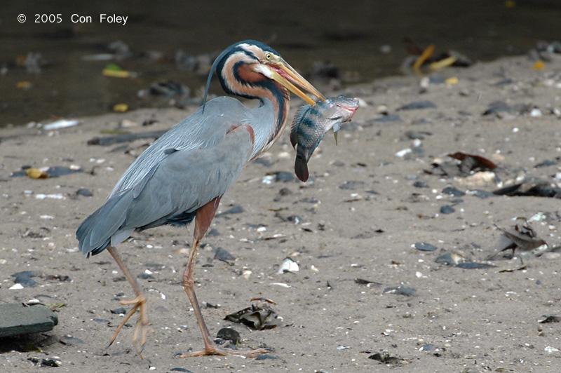 Heron, Purple @ Sungei Buloh