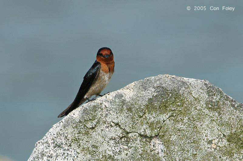 Swallow, Pacific @ Pulau Ubin