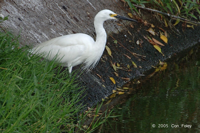 Egret, Little (breeding) @ Nusa Dua