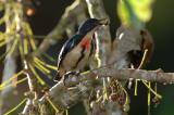 Flowerpecker, Fire-breasted