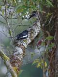 Robin, Oriental Magpie @ Jalang Ampang