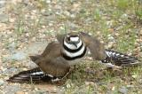 Killdeer @ Plum Island, MA (broken wing behavior)