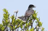 Kingbird, Eastern @ Plum Island, MA