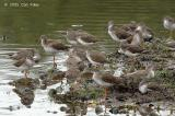 Redshank, Common (non-breeding) @ Sungei Buloh