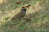 Sparrow, Eurasian Tree @ Botanic Garden