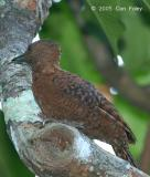 Woodpecker, Rufous (male) @ Upper Pierce