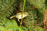 Tailorbird, Common (female) @ Upper Pierce