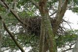 Eagle, White-bellied Sea (nest) @ Neo Tiew Lane 2
