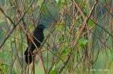 Coucal, Greater @ Lorong Lada Hitam
