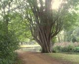Alice Walk tree