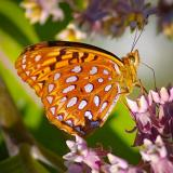 Butterfly Sipping Nectar 13172