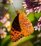Butterfly Sipping Nectar 13171