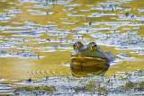 Bullfrog in River 20050801