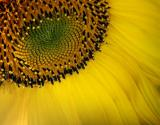 Sunflower Closeup 20050902