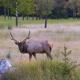Banff Elk 17408