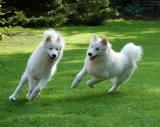 My Samoyeds part 1