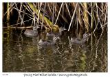 Young Pied-Billed Griebs at the Sunnyvale Baylands
