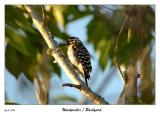 A  woodpecker visits the yard