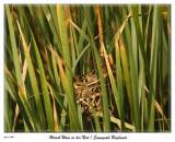 Marsh Wren in her nest at the Sunnyvale Baylands