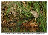 The Turtle and the  Black Crowned Night Heron at the Sunnyvale Baylands