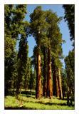 Giant Sequoias of Mariposa Grove