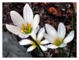 Backyard Crocus blossoms
