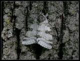white underwing